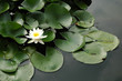 single white lotus in the pond