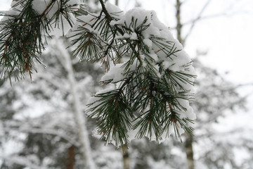 snow on pine branch