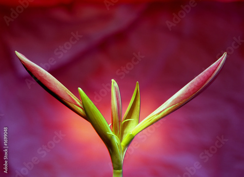 flowers, red lily - 1699048