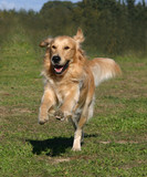 golden retriever en pleine course poster
