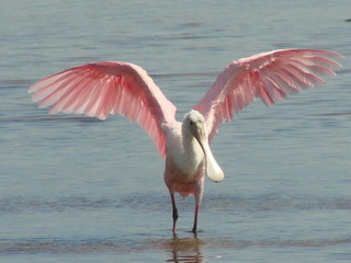 roseate spoonbill close in
