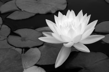 waterlily in black and white