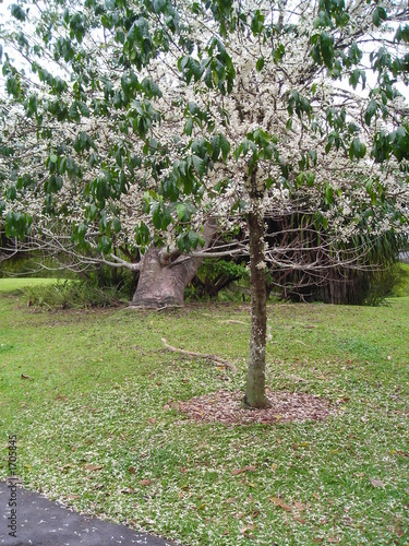 abundant tree laden with white flowers