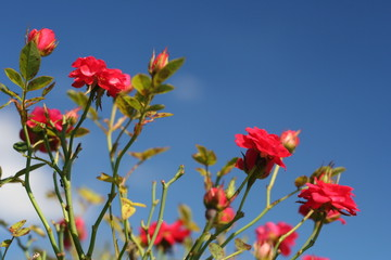 red mini roses