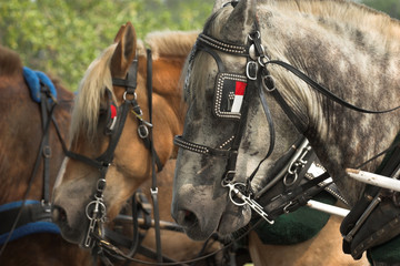belgian horses ready for work