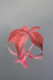 reflected leaf poster