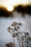 frozen plant in sunset poster