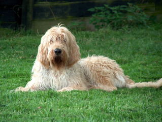 otterhound 3