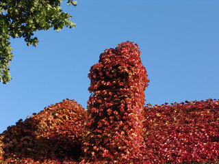red ivy autumn rootop with chimney