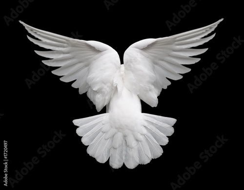 Leinwanddruck Bild white dove in flight 2