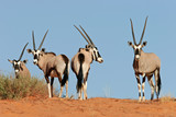 gemsbok antelopes - Fine Art prints