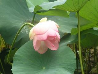 hawaii waimea falls park flower lotus lily pad