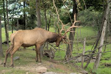 american elk or wapiti (1364)