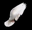 white dove in flight 4