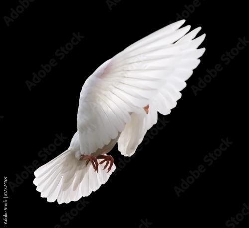 Leinwanddruck Bild white dove in flight 4
