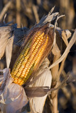corn ready for harvest poster