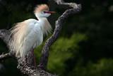 cattle egret in breeding plumage poster
