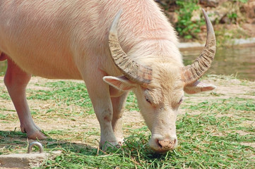 albino water buffalo