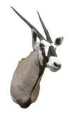 gemsbok (oryx gazella) mount poster