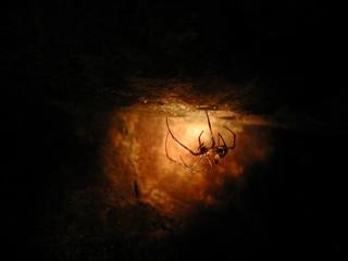 araignée des cavernes