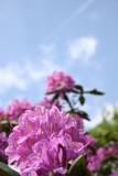 rhododendronblüten poster