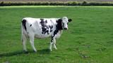 cow in field/farm poster