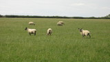 sheep in field/farm poster