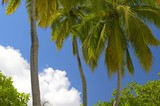 three palmtrees on the island in indian ocean poster
