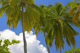 fantastic palmtrees on the island  in indian ocean poster