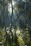 birch forest early in the morning. poster