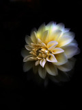 beautiful  fine art image of white and yellow dahlia poster