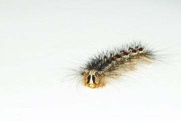 creeping caterpillar on white