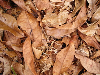 dried brown leaves background