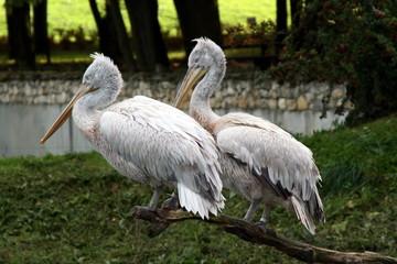 pelians