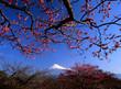 plum blossoms iii