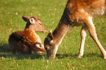 white dotted deer fawns
