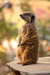 meerkat (suricate/suricata)