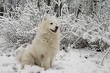 samoyed dog in the snow bushes poster