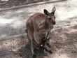 kangaroo island kangaroo