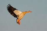 egyptian goose in flight poster