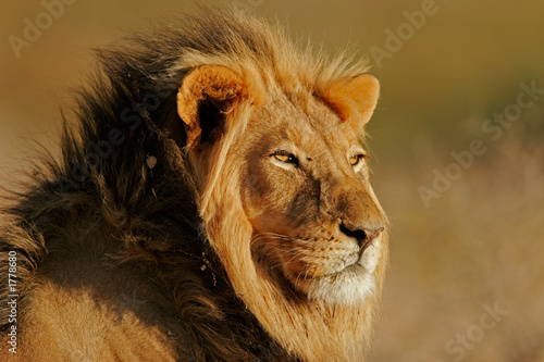canvas print picture african lion