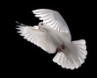 white dove in flight 5
