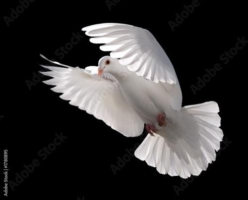 Leinwanddruck Bild white dove in flight 5