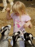 little girl feeding goats poster