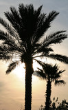 miami palm trees with sunset poster