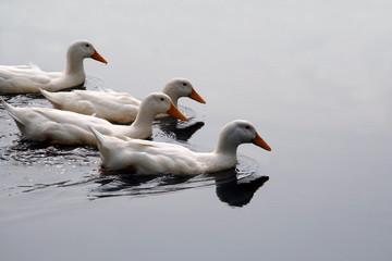 white ducks in formation