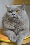 british-cat poster