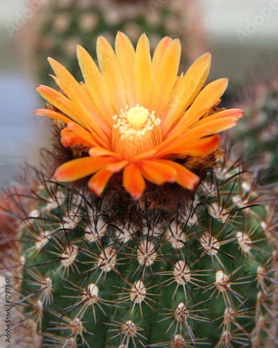 Foto op Canvas Cactus budding desert cactus