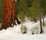 giant sequoia 101 poster
