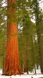 giant sequoia 102 poster